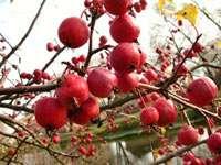 Это маленькие яблочки