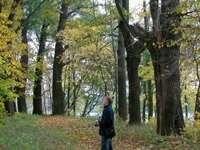 аллея вековых деревьев