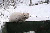 Кот Суздальский помойный