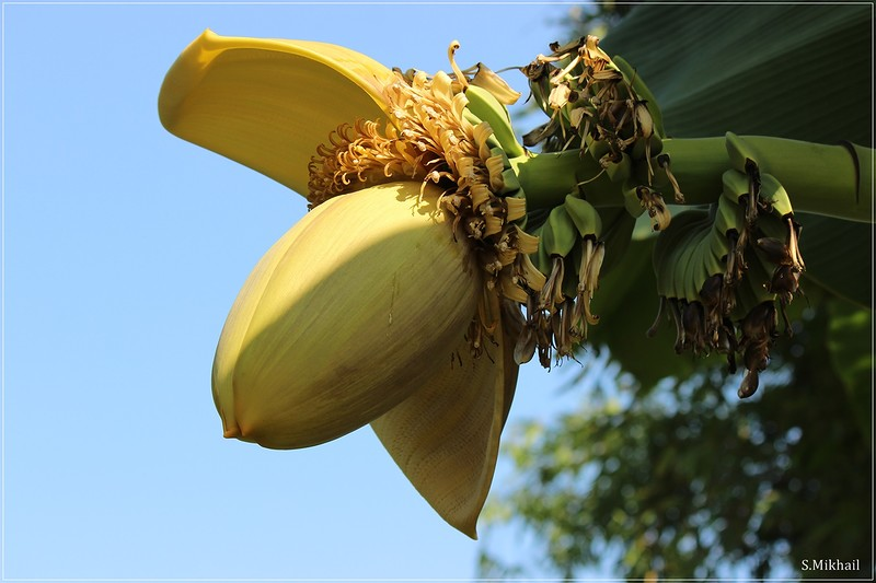 Соцветие банана.